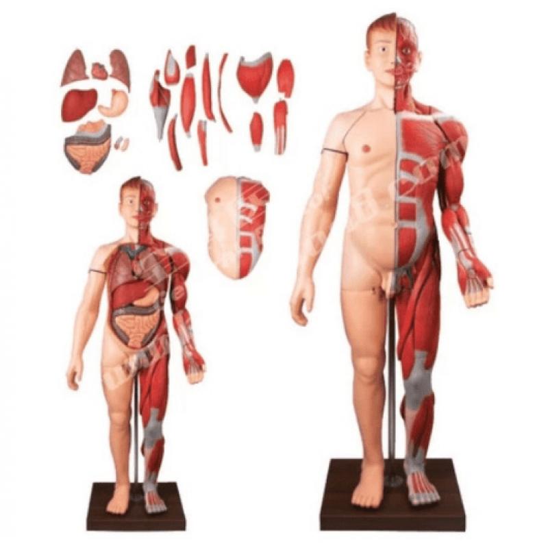 Mô hình giải phẫu hệ cơ và nội tạng 170cm