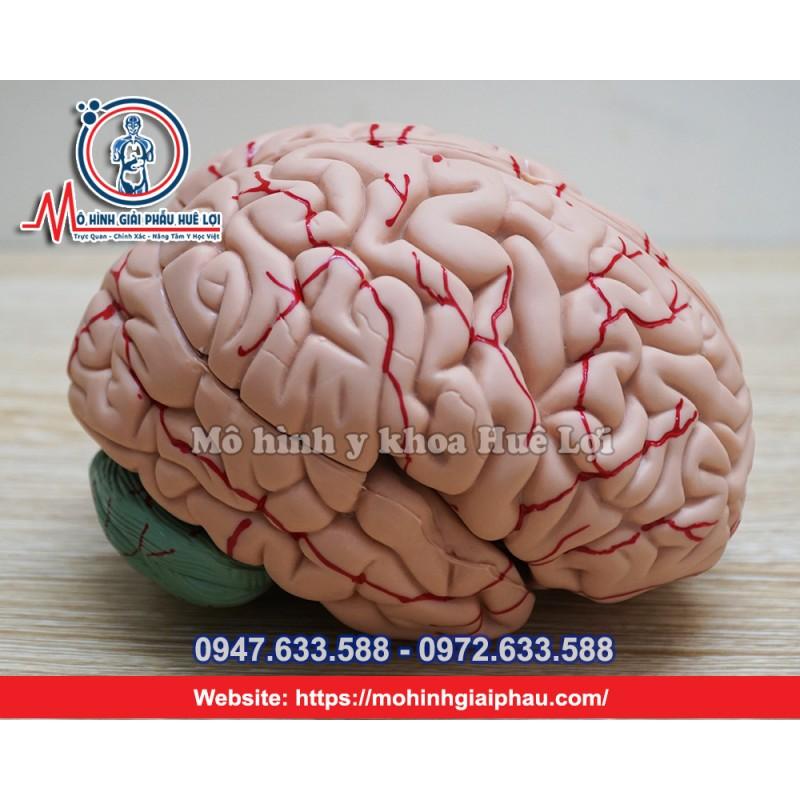 Mô hình giải phẫu não bộ