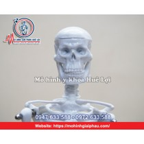Mô hình tổng quan xương cơ thể người 45cm