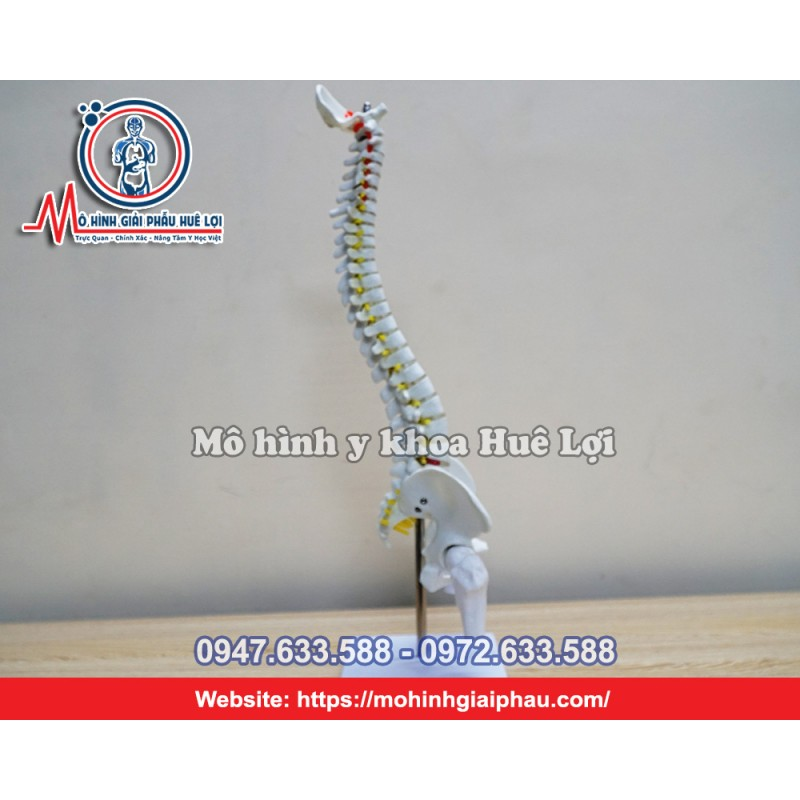 Mô hình xương cột sống 45cm