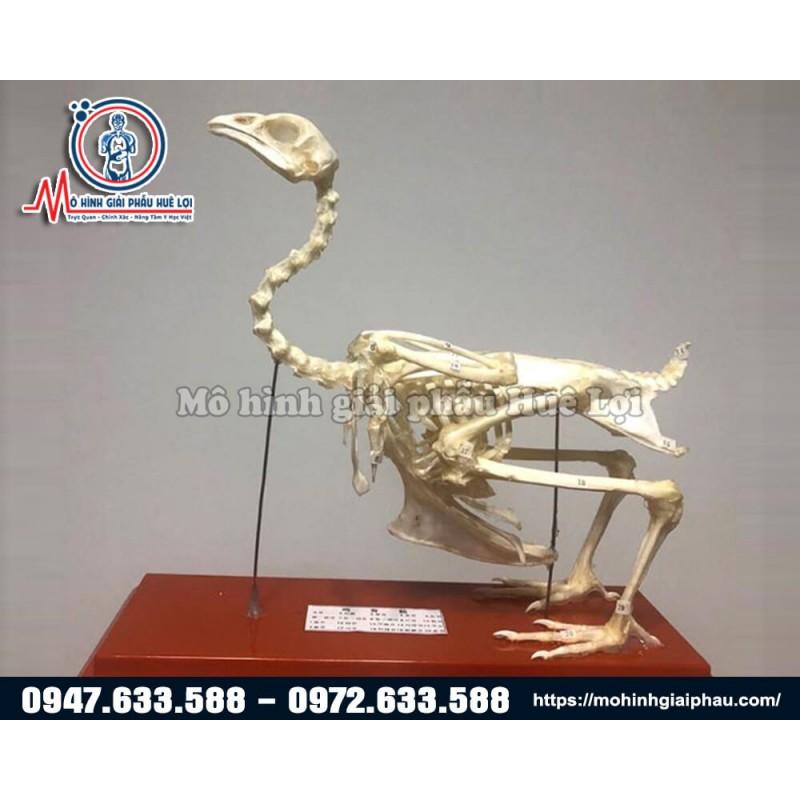 Mô hình bộ xương gà giải phẫu